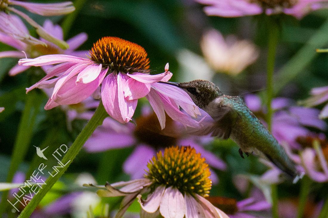 7-28-20 Ruby-throated Hummingbird at Purple Coneflower-zoom in