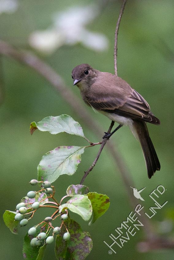 8-3-20 Eastern Phoebe at Blackhaw fruit (Viburnum prunifolium)