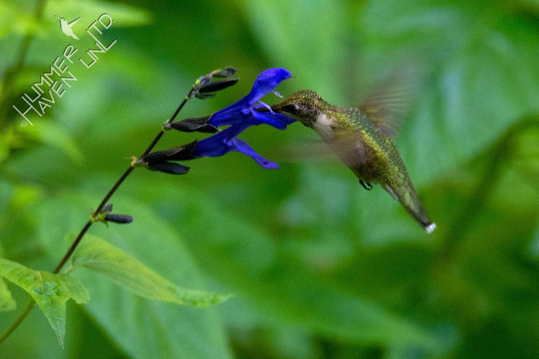 8-6-20 Ruby-throated Hummingbird