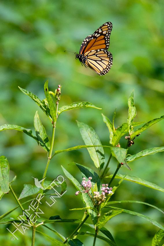 8-9-20 Monarch at Marsh Milkweed
