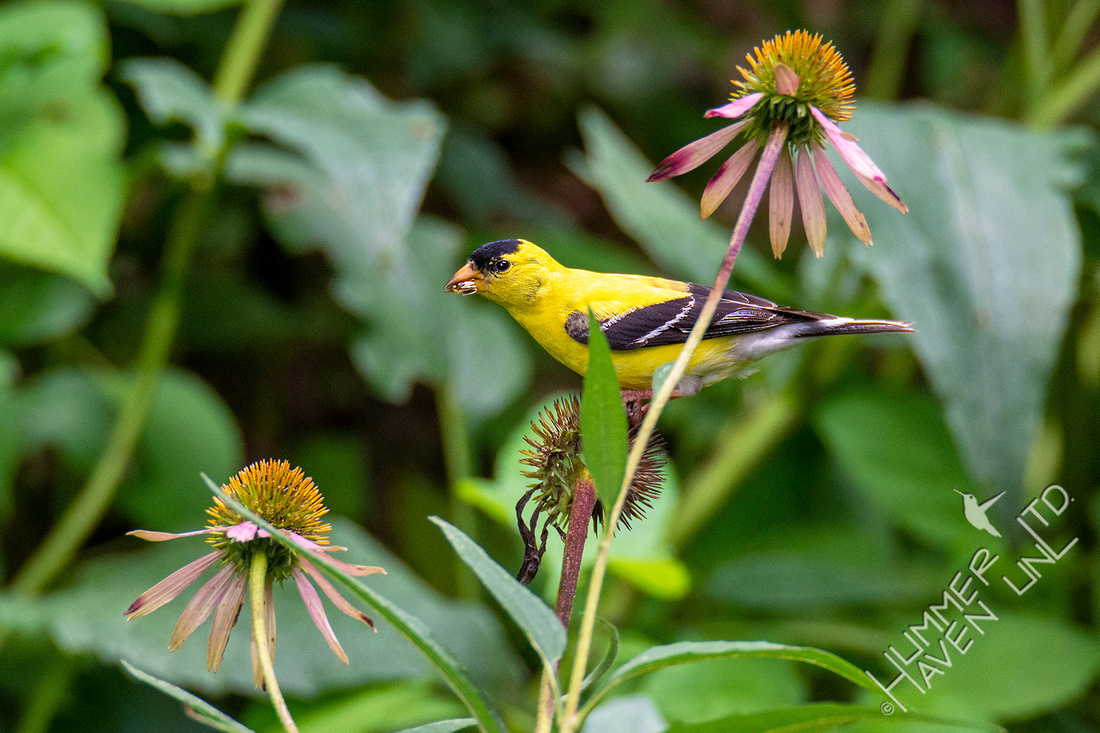 8-11-20 American Goldfinch