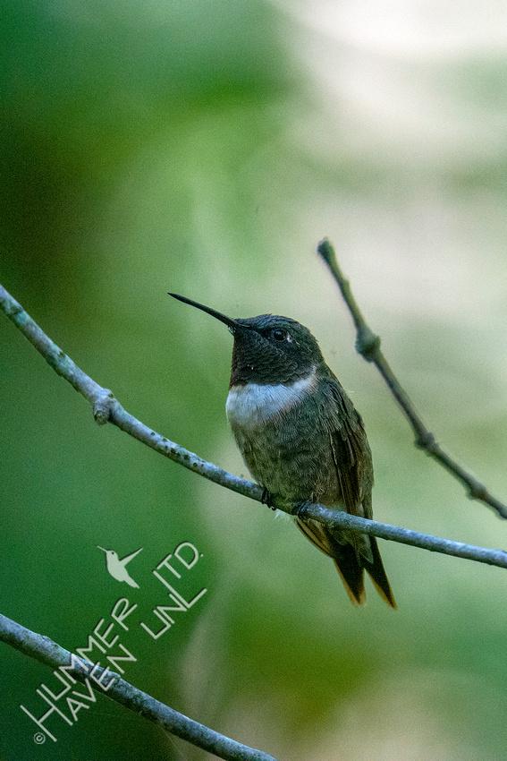 8-16-20 Ruby-throated Hummingbird