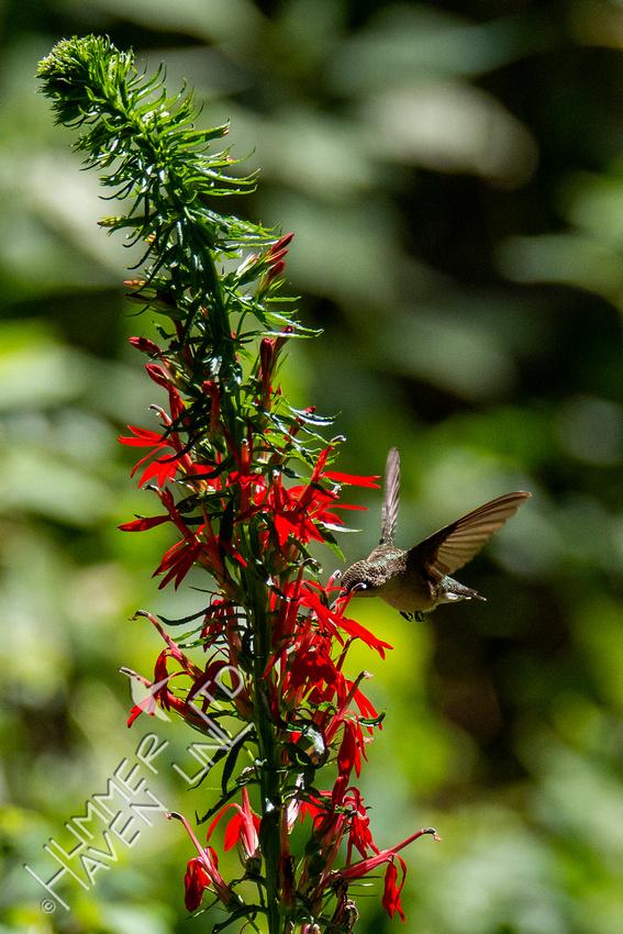 8-18-20 Ruby-throated Hummingbird