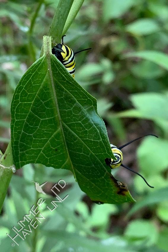 8-23-20 Monarch Caterpillar on Marsh Milkweed