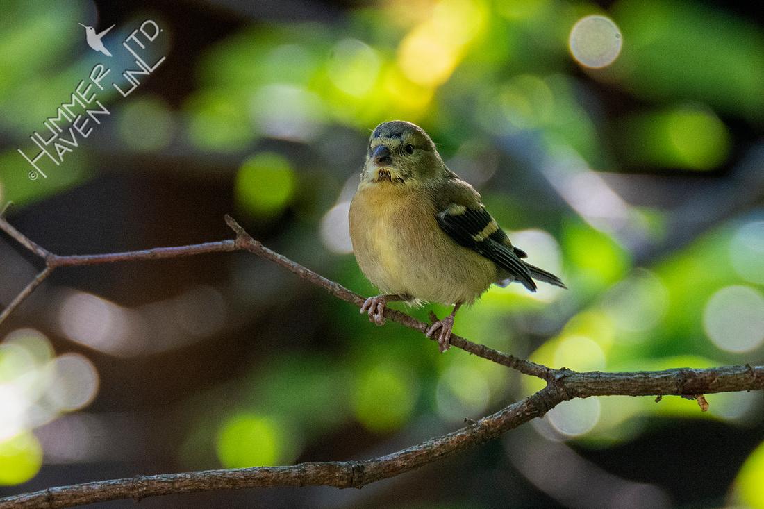 8-19-20 American Goldfinch immature