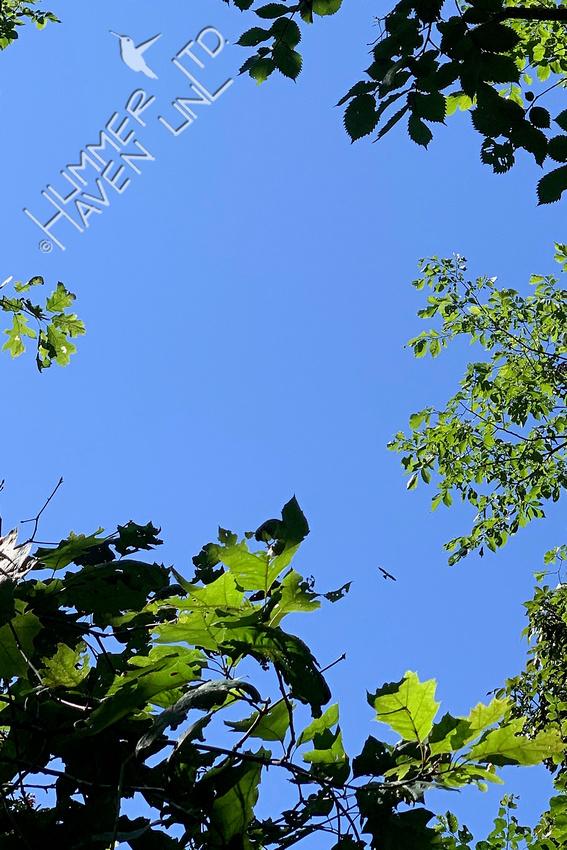 8-16-20 Mississippi Kite 'kiting' overhead