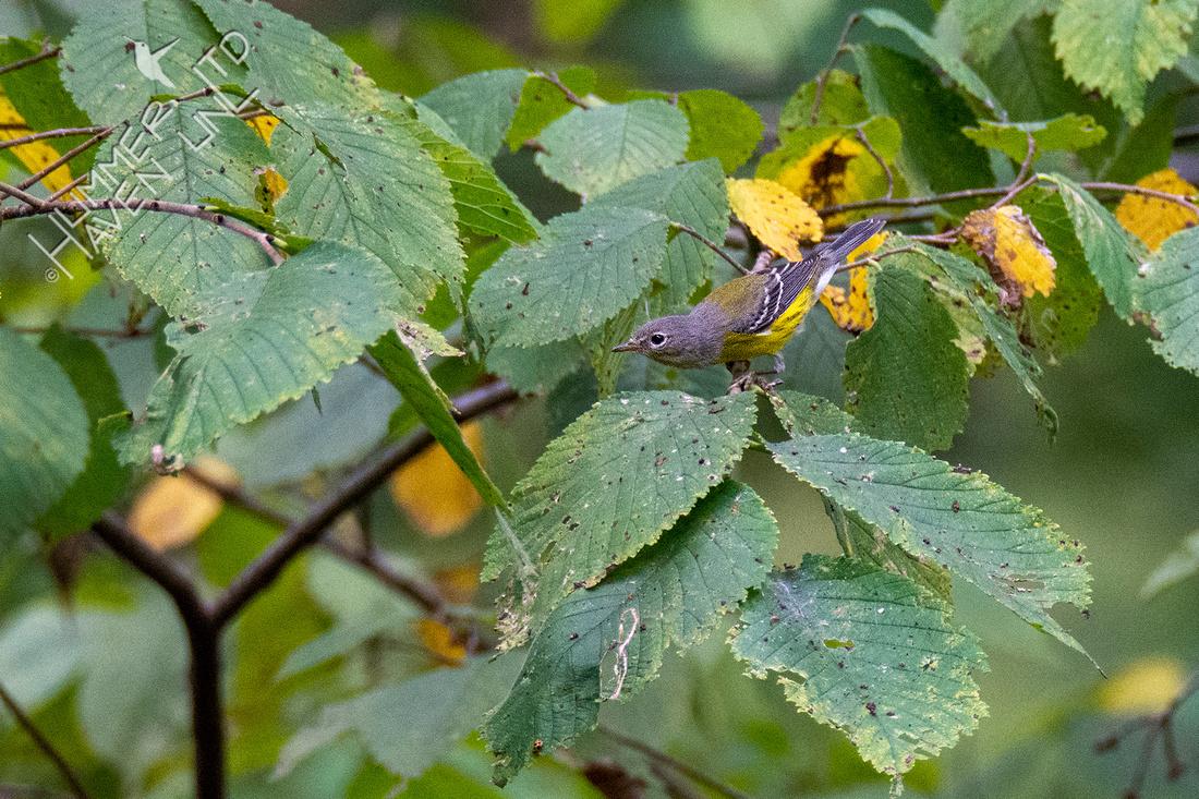 8-29-20 Magnolia Warbler