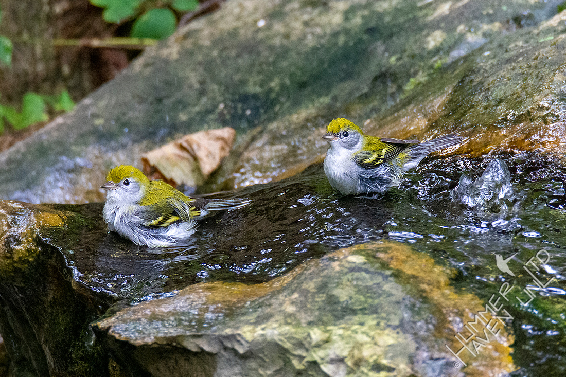8-29-20 FOS Chestnut-sided Warblers