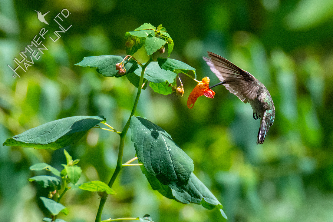9-6-20 Ruby-throated Hummingbird at Jewelweed (Impatiens capensis)