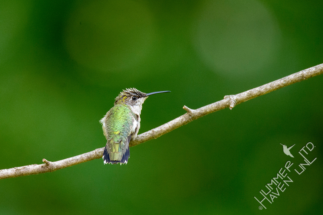 9-7-20 Ruby-throated Hummingbird