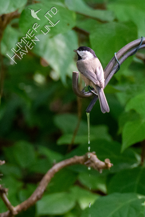 9-7-20 Carolina Chickadee at dripper bath