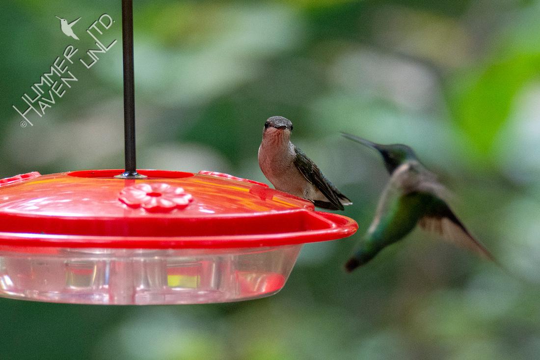 9-8-20 Ruby-throated Hummingbird female, male
