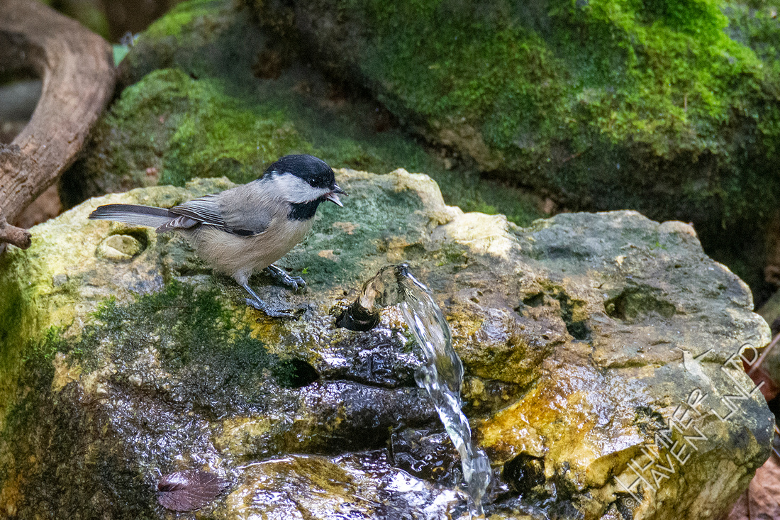 9-8-20 Carolina Chickadee drinking