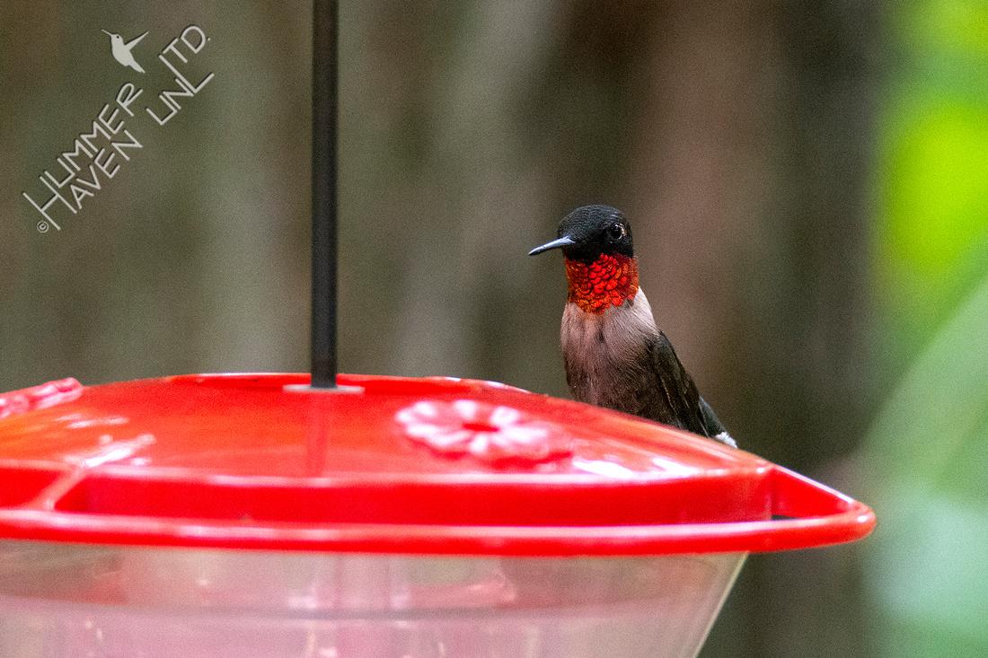 9-10-20 Ruby-throated Hummingbird, male
