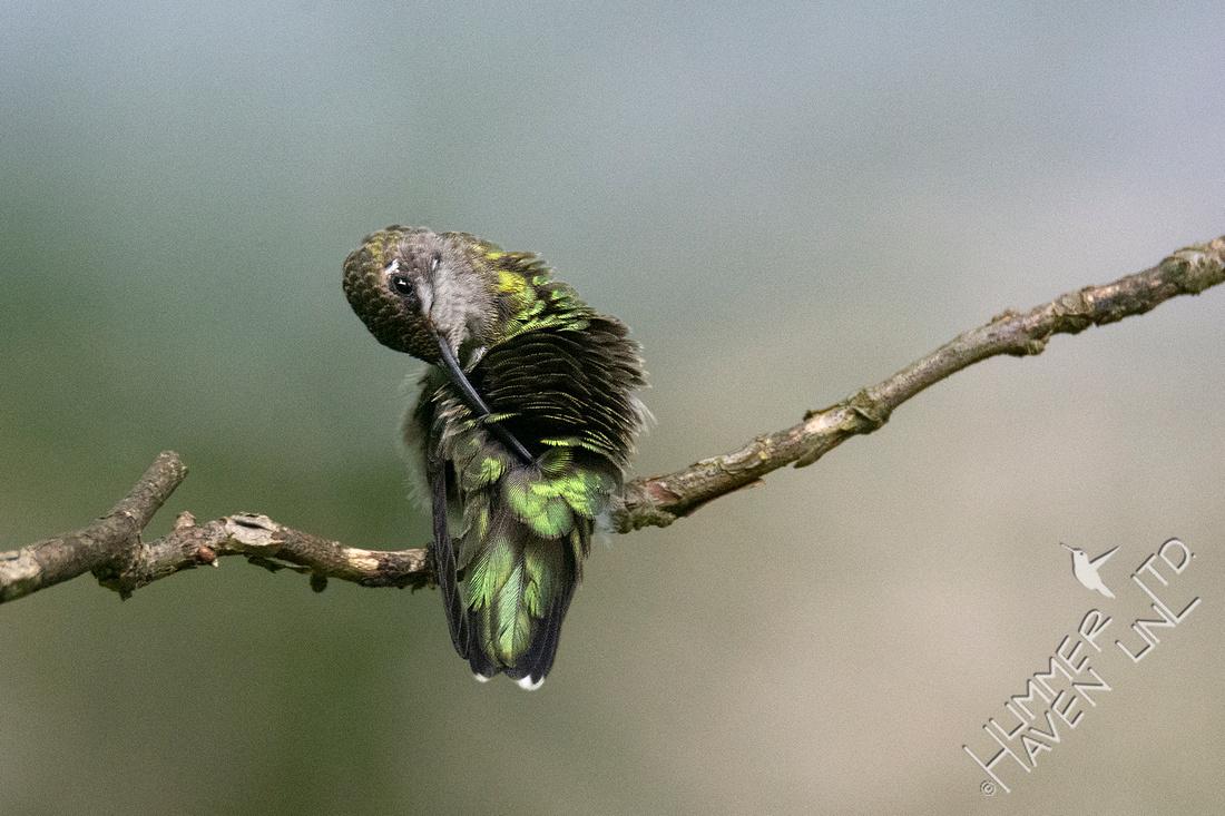 9-10-20 Ruby-throated Hummingbird, preening