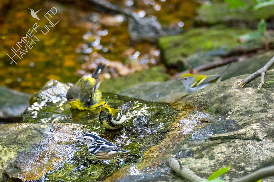 9-14-20 Magnolia, Black-throated Green,  Chestnut-sided and Black-and-white Warblers
