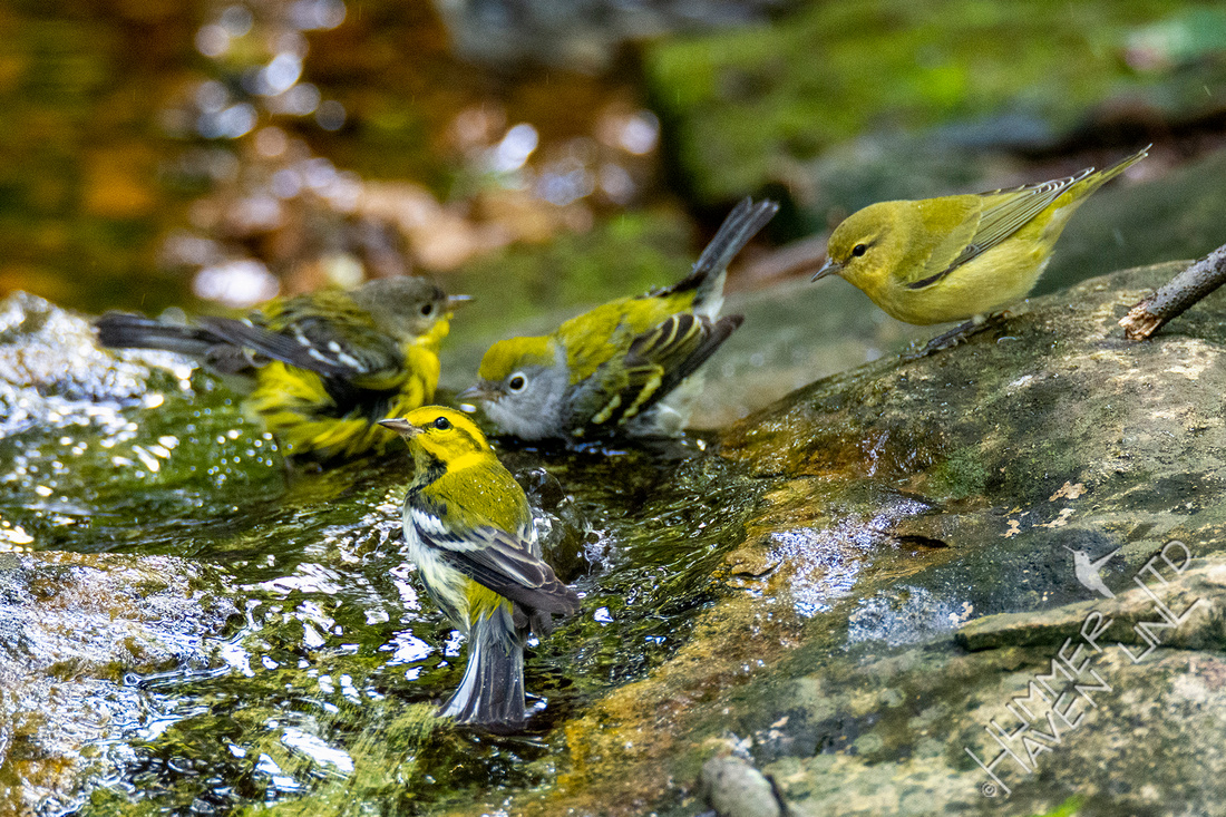 9-14-20 Magnolia, Black-throated Green,  Chestnut-sided and FOS Tennessee Warblers