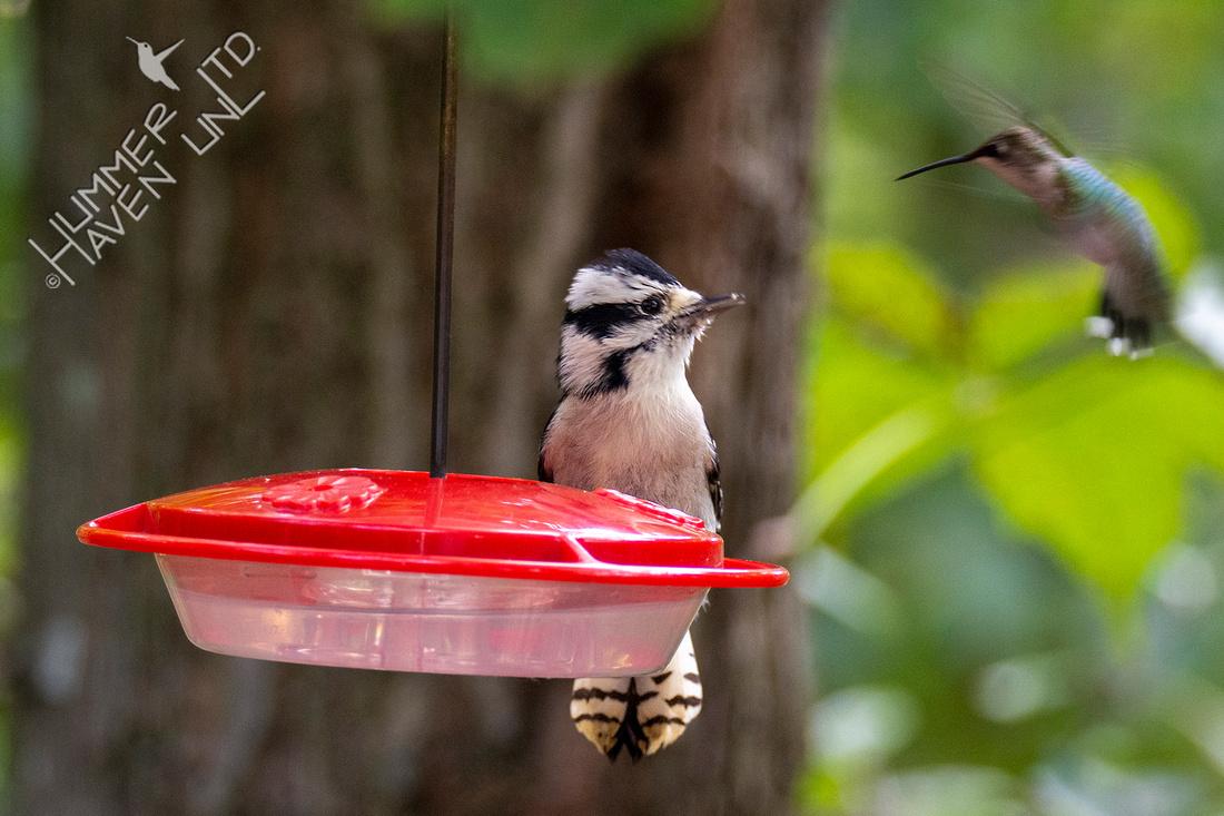9-14-20 Downy Woodpecker and Ruby-throated Hummingbird