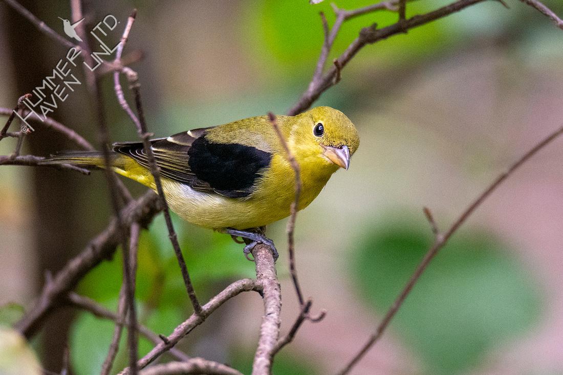 9-23-20 Scarlet Tanager