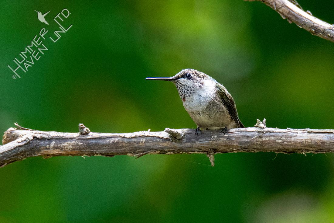 9-24-20 Ruby-throated Hummingbird, immature male
