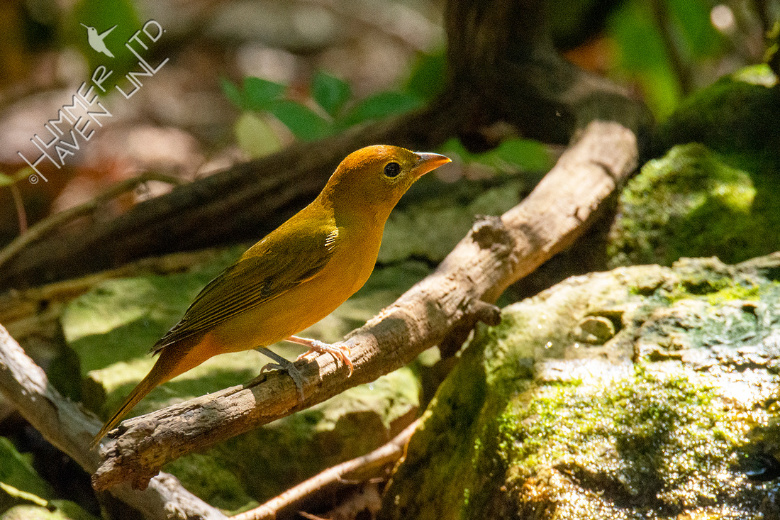 9-26-20 FOS Summer Tanager female