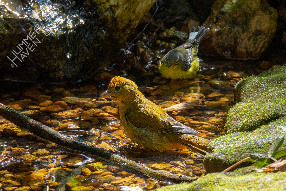 9-26-20 FOS Summer Tanager female and Magnolia Warbler