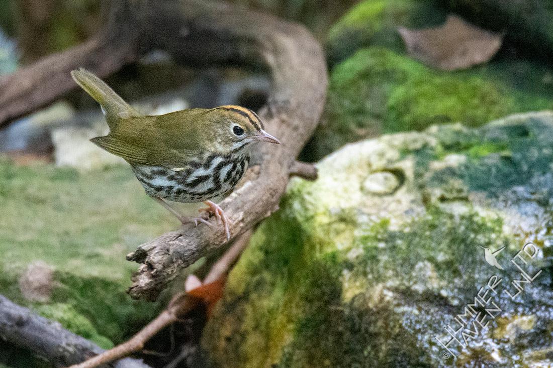 9-28-20 Ovenbird