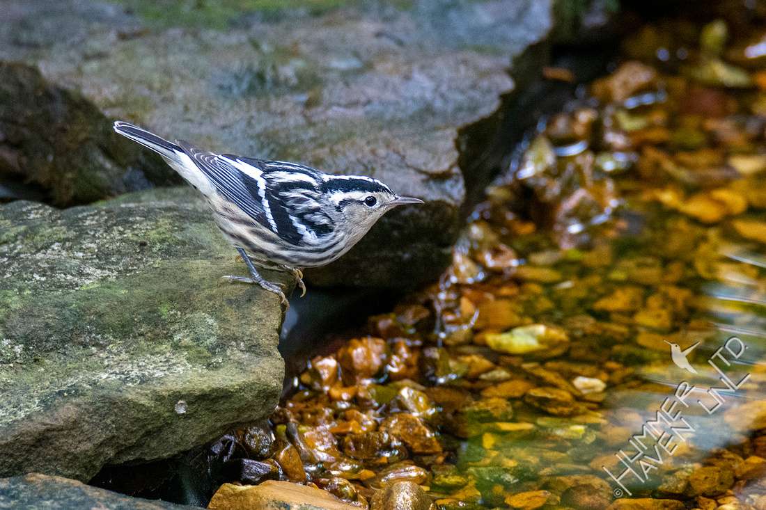 9-29-20 Black-and-white Warbler