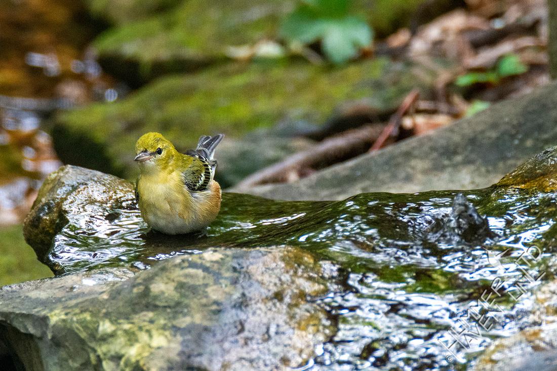 9-29-30 Bay-breasted Warbler
