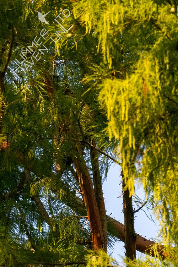 10-6-20 Great Horned Owl hidden in Pond Cypress