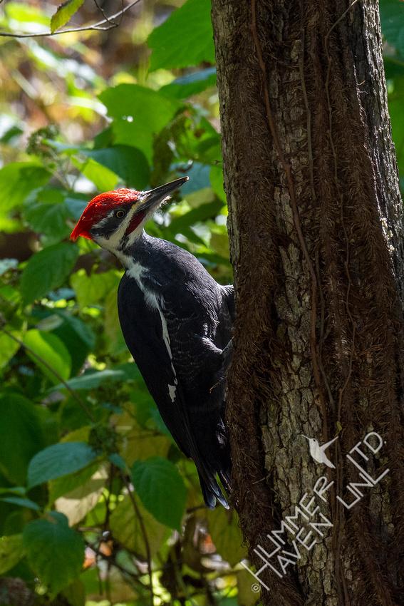 10-6-20 Pileated Woodpecker