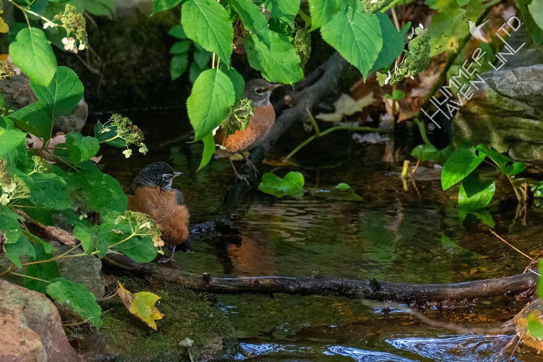 10-7-20 American Robins