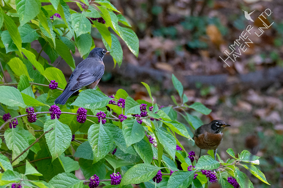 10-7-20 American Robins at Beautyberries