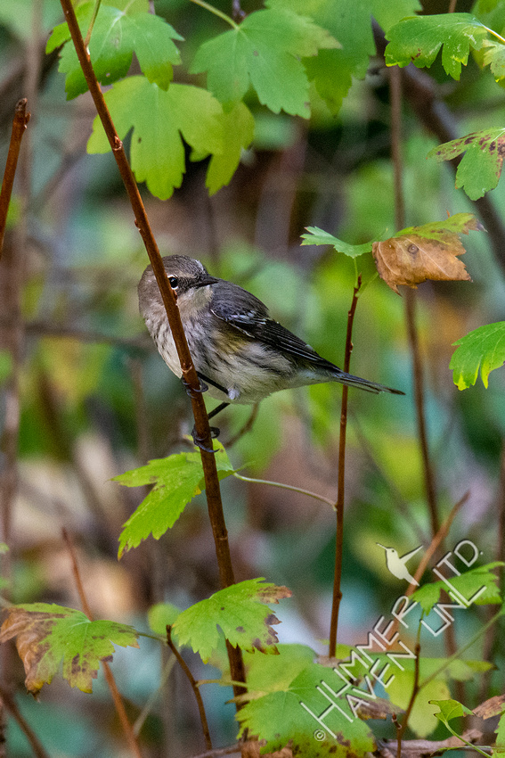 10-7-20 Yellow-rumped Warbler in Clove Currant