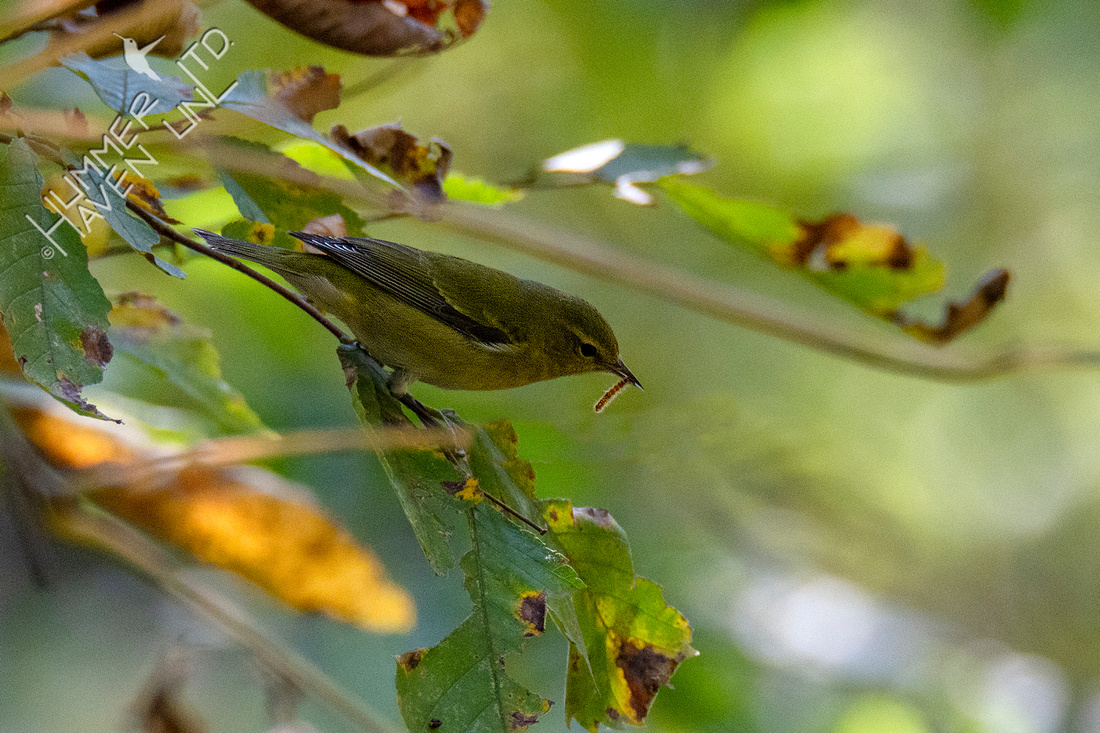 10-9-20 Tennessee Warbler with caterpillar on Elm