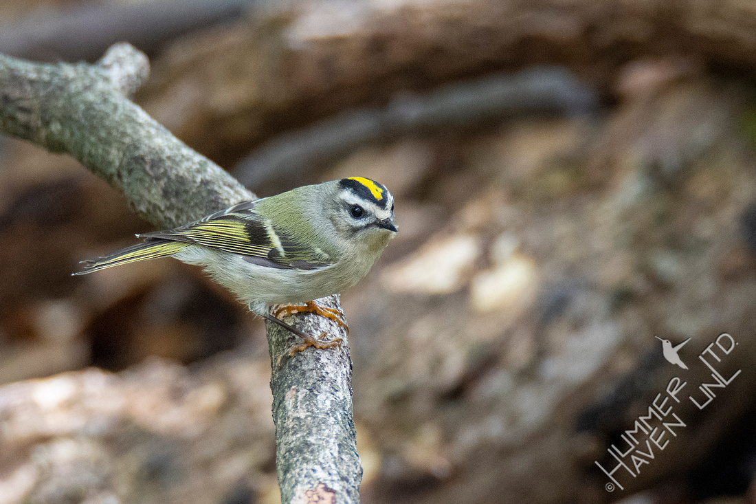 10-10-20 Golden-crowned Kinglet