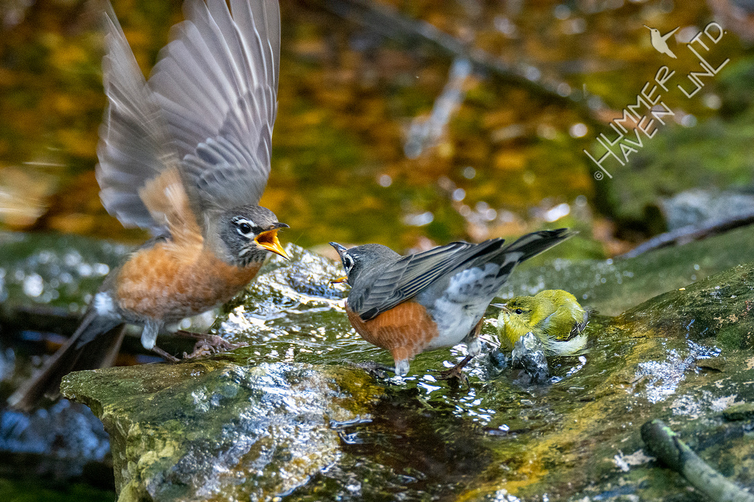10-10-20 American Robins and Tennessee Warbler