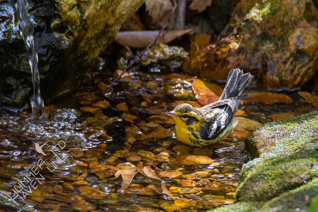 10-12-20 Blackburnian Warbler