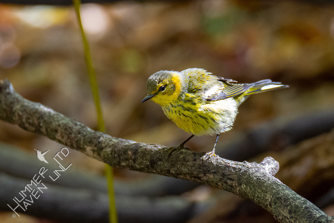 10-13-20 FOS Cape May Warbler! Rare!