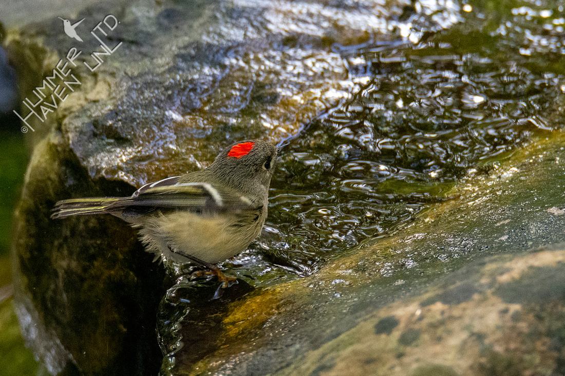 10-14-20 Ruby-crowned Kinglet