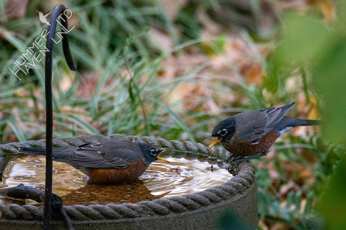 10-17-20 American Robins