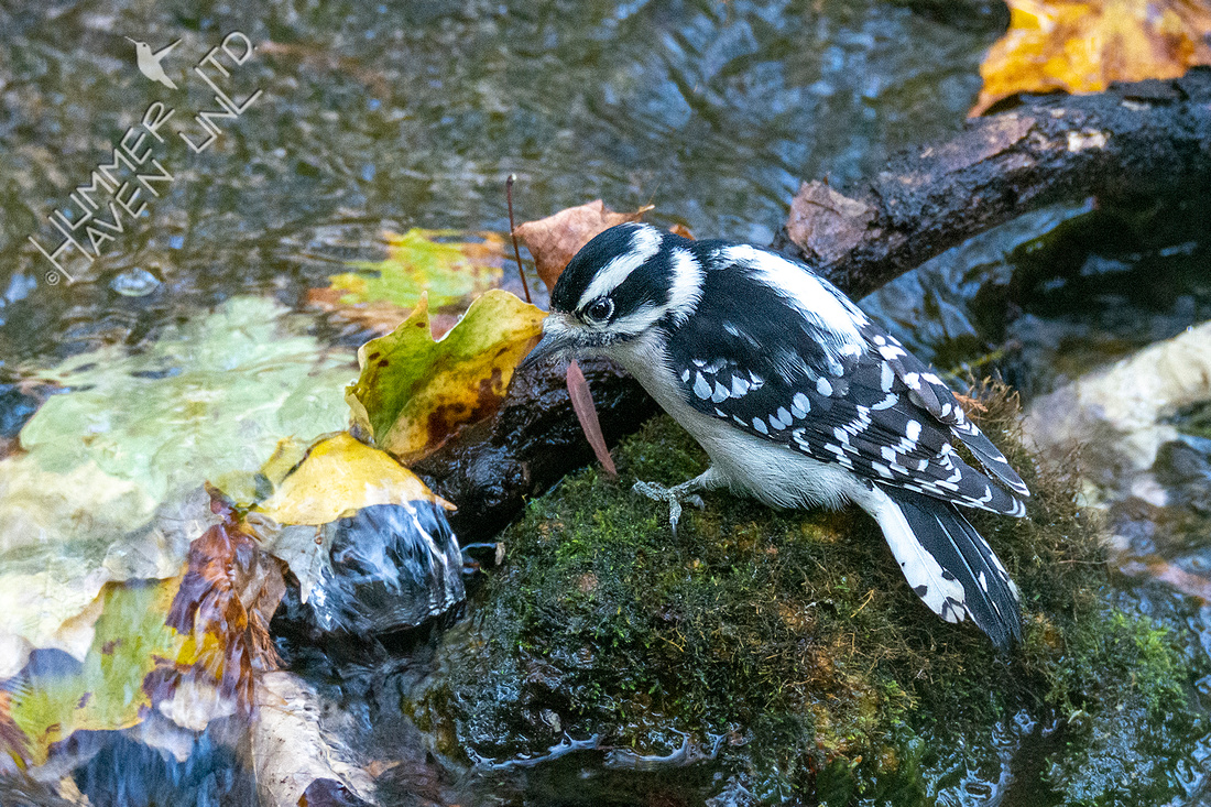 10-17-20 Downy Woodpecker