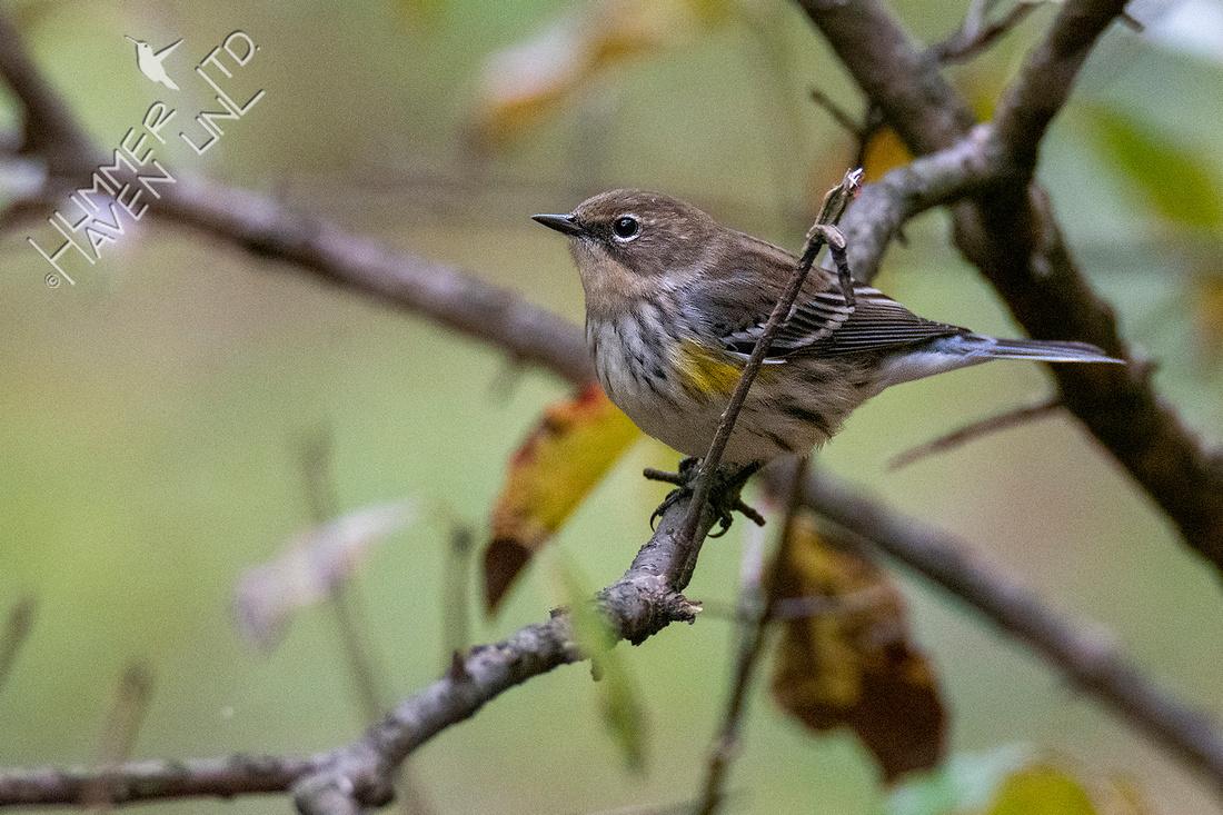 10-23-20 Yellow-rumped Warbler