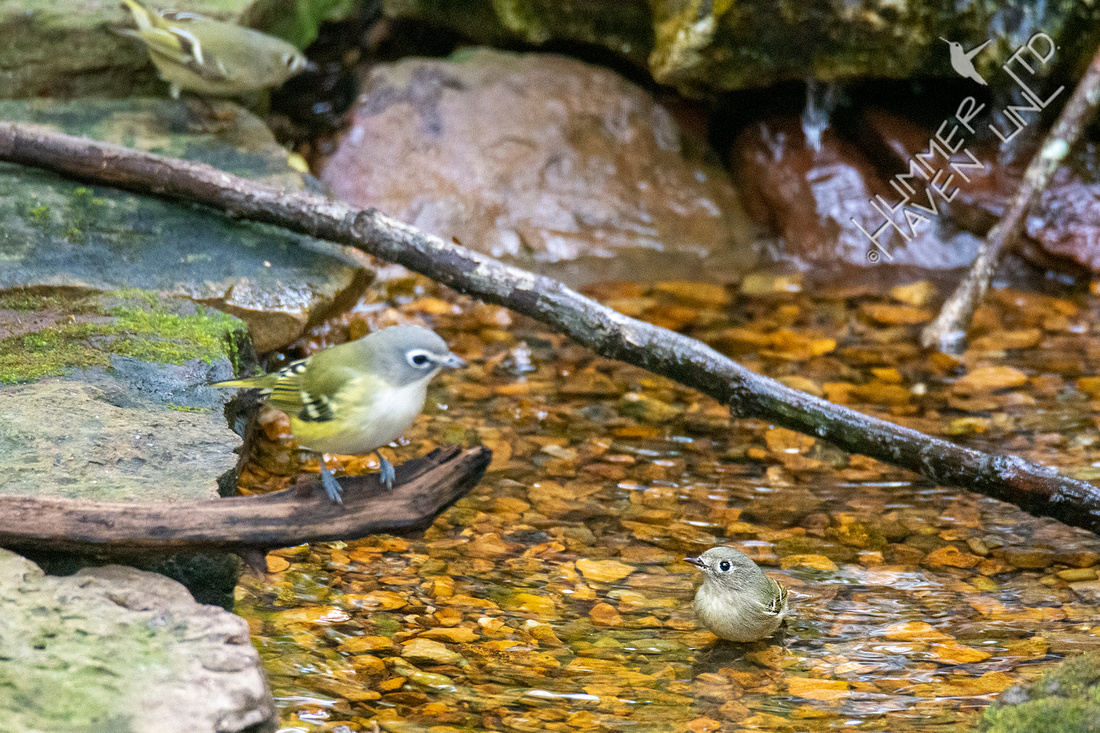 10-23-20 Ruby-crowned Kinglets and Blue-headed Vireo