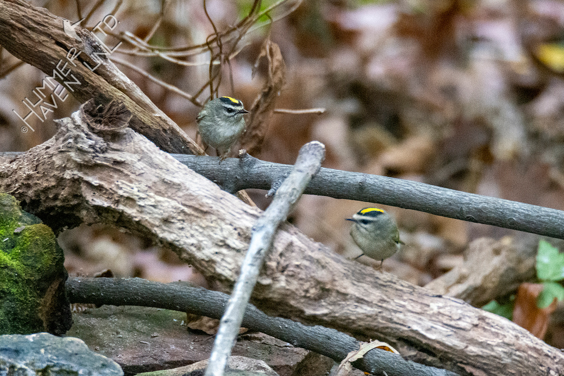10-25-20 Pair of Golden-crowned Kinglets