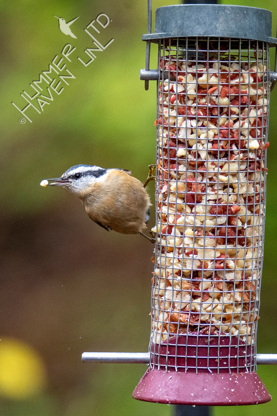 10-27-20 Red-breasted Nuthatch