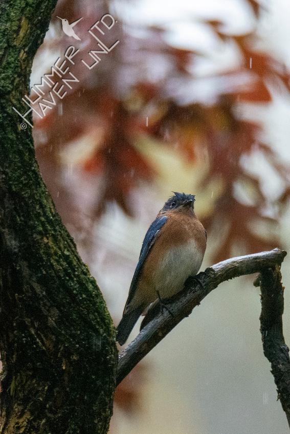 10-29-20 Eastern Bluebird