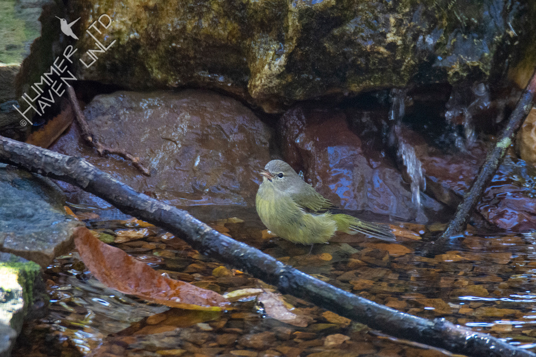 11-1-20 Orange-crowned Warbler