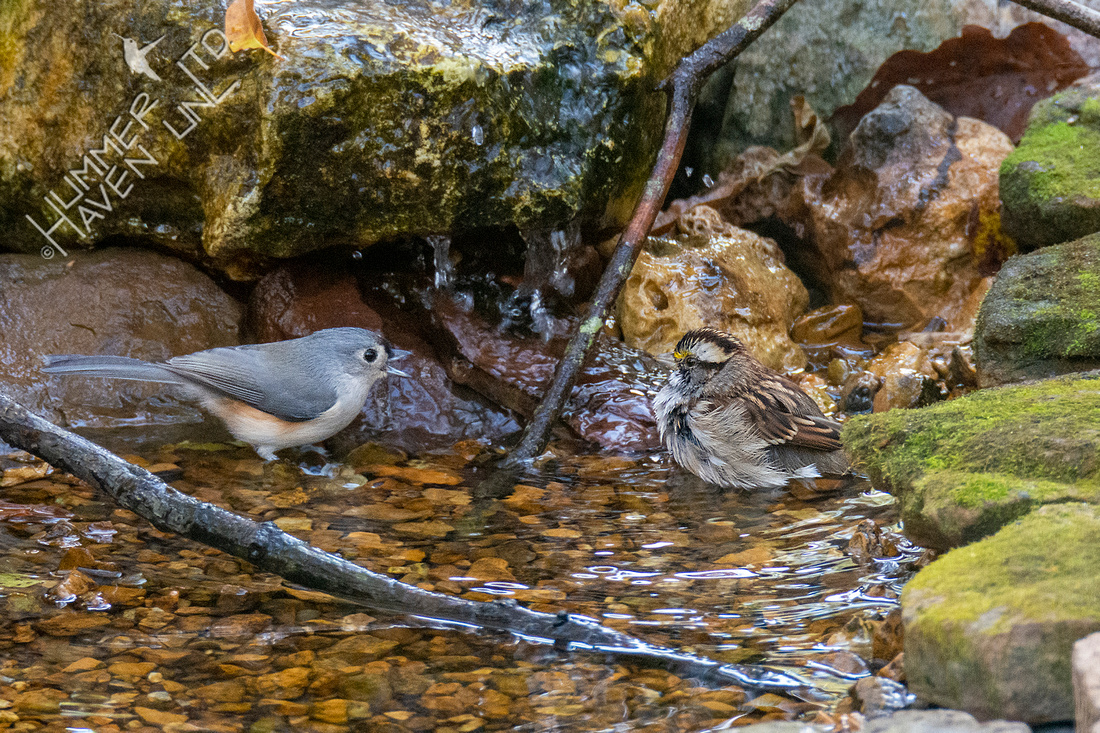 11-2-20 Tufted Titmouse and White-throated Sparrow
