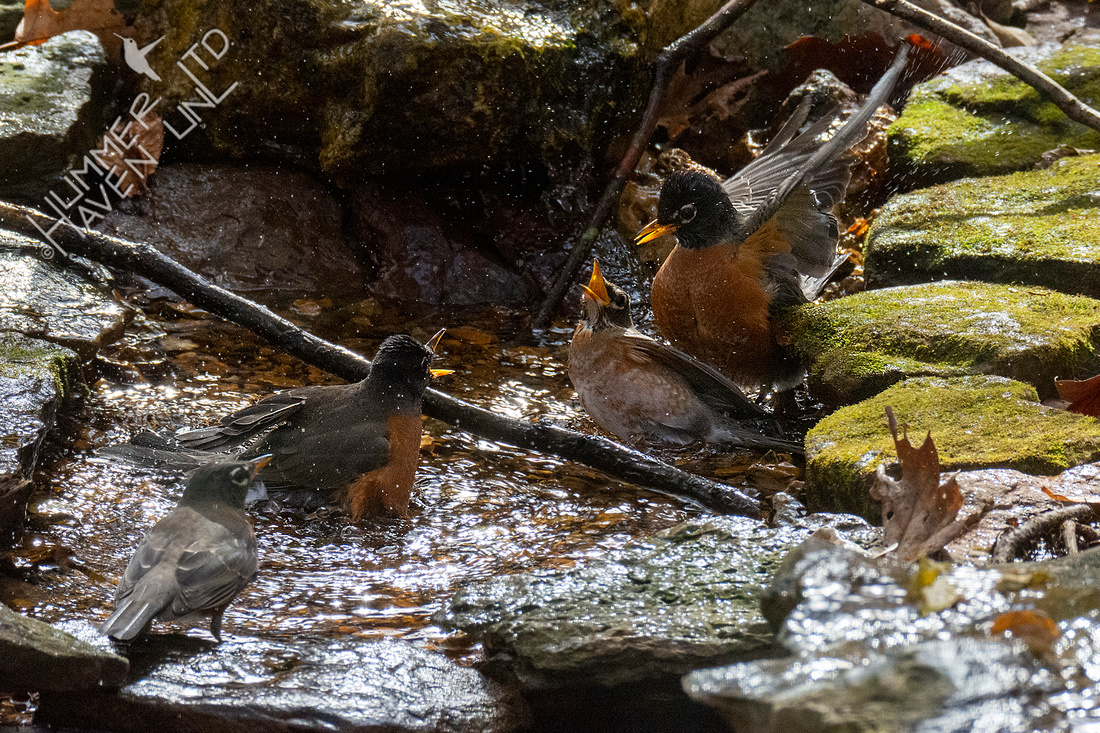 11-5-20 American Robins